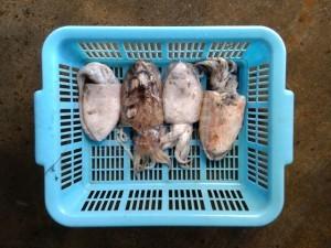 cuttle-fish